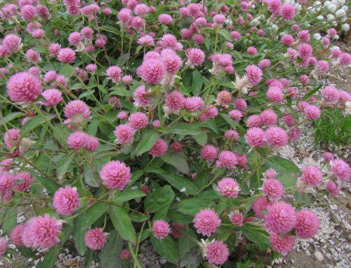 Λειμώνιο τριφύλλι (Trifolium pratense L.)