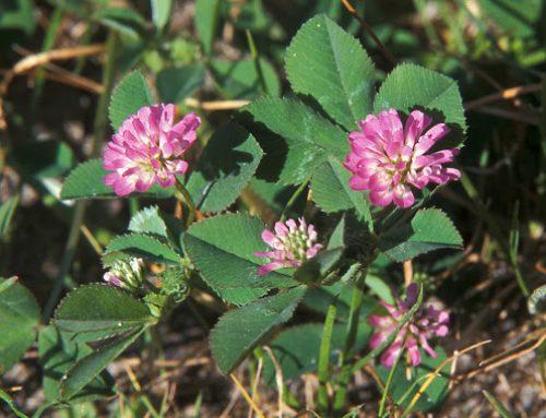 Περσικό τριφύλλι (Trifolium resupinatum L.)